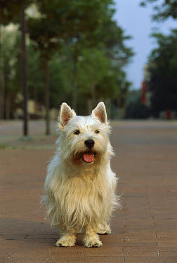 West Highland White Terrier (Canis familiaris) standing on brick road panting  -  Mark Raycroft
