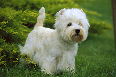 West Highland White Terrier (Canis familiaris) standing at attention in grass  -  Mark Raycroft