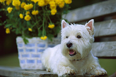 West Highland White Terrier (Canis familiaris) laying on bench in front of flower pot  -  Mark Raycroft