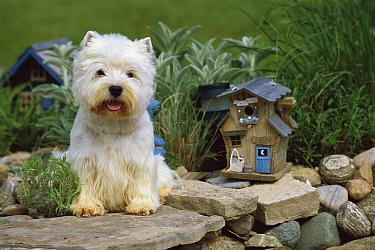 West Highland White Terrier (Canis familiaris) sitting in garden by birdhouse  -  Mark Raycroft