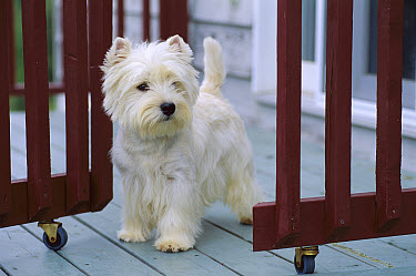 West Highland White Terrier (Canis familiaris) standing on wooden deck  -  Mark Raycroft