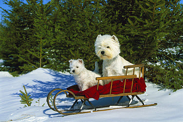 West Highland White Terrier (Canis familiaris) adult and puppy sitting in sleigh  -  Mark Raycroft