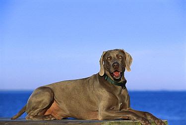 Weimaraner (Canis familiaris) laying down  -  Mark Raycroft