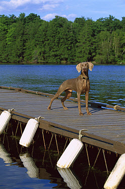 Weimaraner (Canis familiaris) portrait on pier  -  Mark Raycroft