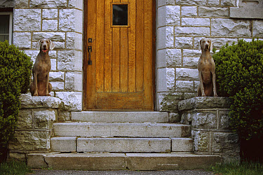 Weimaraner (Canis familiaris) pair sitting on either side of door, mimicking statues  -  Mark Raycroft