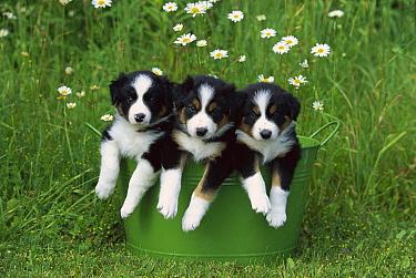 Border Collie (Canis familiaris) three puppies in metal bucket  -  Mark Raycroft