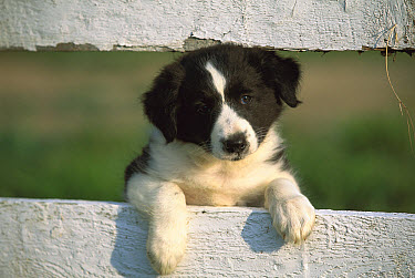 Border Collie (Canis familiaris) puppy looking through fence  -  Mark Raycroft