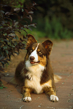 Border Collie (Canis familiaris) adult laying on brick walk  -  Mark Raycroft