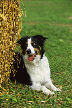 Border Collie (Canis familiaris) laying next to hay bale  -  Mark Raycroft