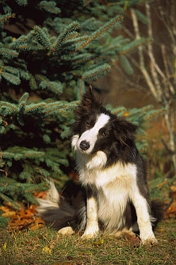 Border Collie (Canis familiaris) sitting in front of pine tree, head cocked  -  Mark Raycroft