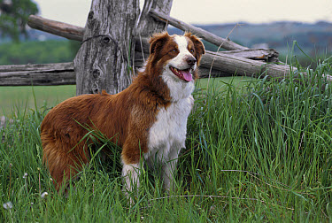 Border Collie (Canis familiaris) adult portrait standing in tall grass  -  Mark Raycroft