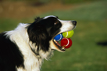 Border Collie (Canis familiaris) adult with three tennis balls in its mouth, waiting to play fetch  -  Mark Raycroft