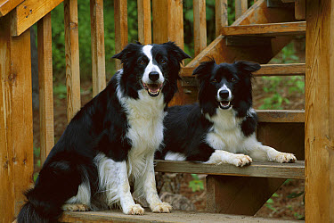 Border Collie (Canis familiaris) two black and white adults resting on deck  -  Mark Raycroft