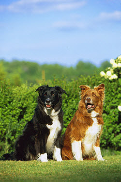 Border Collie (Canis familiaris) two adults, one tan and white and the other black and white, sitting together  -  Mark Raycroft