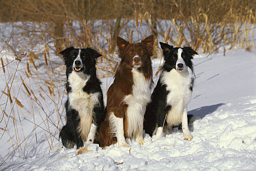 Border Collie (Canis familiaris) three adults sitting together in the snow  -  Mark Raycroft