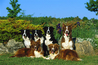 Border Collie (Canis familiaris) portrait of six adults  -  Mark Raycroft