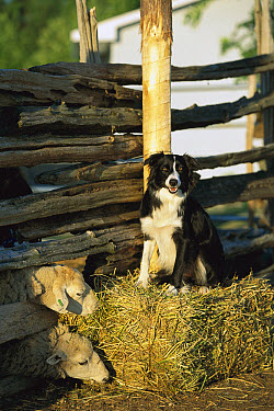 Border Collie (Canis familiaris) sitting on straw bale at a farm with sheep  -  Mark Raycroft