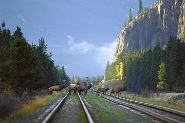 Elk (Cervus elaphus) large bull and harem of cows crossing railroad tracks in the mountains  -  Mark Raycroft