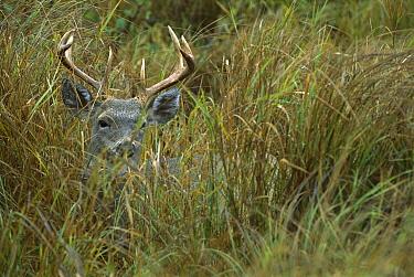 White-tailed Deer (Odocoileus virginianus) male bedded down in meadow peering through tall grass  -  Mark Raycroft