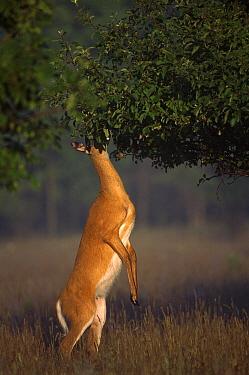 White-tailed Deer (Odocoileus virginianus) doe standing on hind legs feeding in apple tree  -  Mark Raycroft