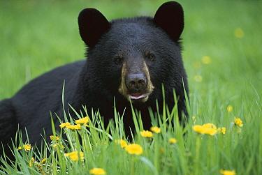 Black Bear (Ursus americanus) close-up portrait of adult in green grass among Dandelions  -  Mark Raycroft