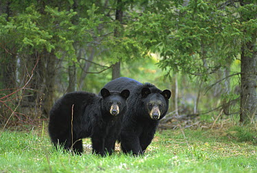 Black Bear (Ursus americanus) sow with yearling cub  -  Mark Raycroft