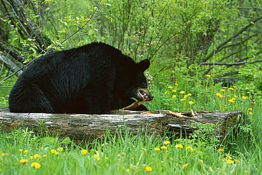 Black Bear (Ursus americanus) tearing apart fallen log in search of insects to eat  -  Mark Raycroft