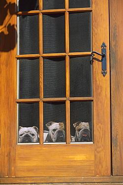 English Bulldog (Canis familiaris) three adults looking out of screen door  -  Mark Raycroft