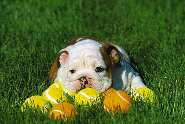 English Bulldog (Canis familiaris) puppy laying on grass with tennis balls, tired after playing  -  Mark Raycroft