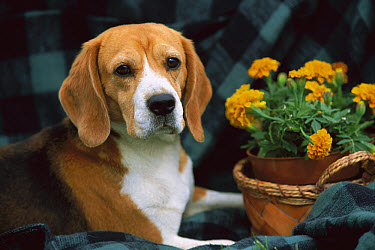 Beagle (Canis familiaris) with potted marigolds  -  Mark Raycroft