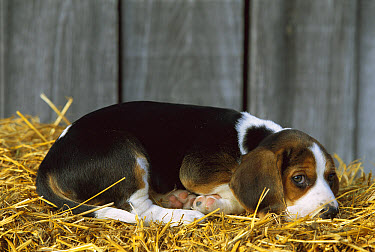 Beagle (Canis familiaris) puppy resting on a bed of straw  -  Mark Raycroft