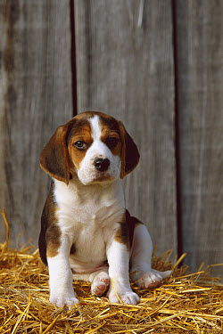 Beagle (Canis familiaris) puppy sitting on a bed of straw  -  Mark Raycroft