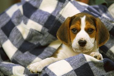 Beagle (Canis familiaris) portrait of a puppy  -  Mark Raycroft