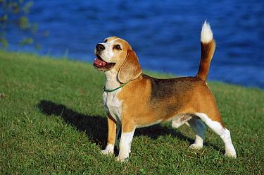Beagle (Canis familiaris) male portrait  -  Mark Raycroft