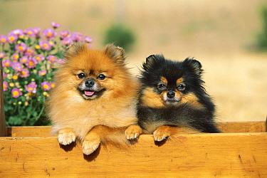 Pomeranian (Canis familiaris) pair in planter  -  Mark Raycroft