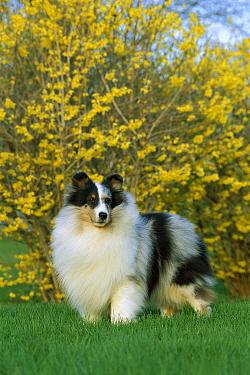 Shetland Sheepdog (Canis familiaris) portrait of blue merle colored adult  -  Mark Raycroft