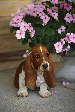 Basset Hound (Canis familiaris) puppy sitting next to and urn filled with impatiens flowers  -  Mark Raycroft