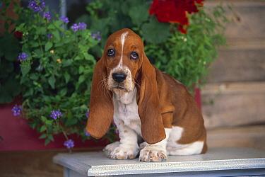 Basset Hound (Canis familiaris) portrait of a puppy  -  Mark Raycroft