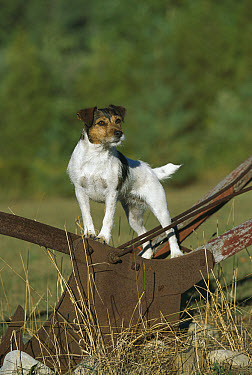 Jack Russell or Parson Terrier (Canis familiaris) adult standing on farm equipment  -  Mark Raycroft