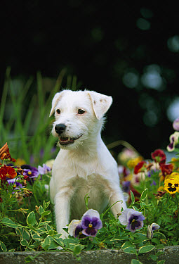 Jack Russell or Parson Terrier (Canis familiaris) adult sitting in pansies  -  Mark Raycroft
