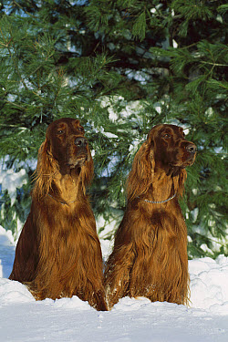 Two Irish Setters (Canis familiaris) sitting in snow  -  Mark Raycroft