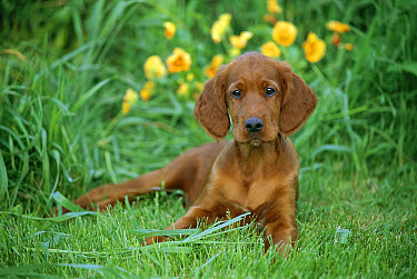Irish Setter (Canis familiaris) puppy  -  Mark Raycroft