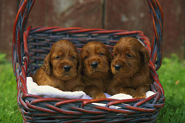 Irish Setter (Canis familiaris) three puppies in a basket  -  Mark Raycroft