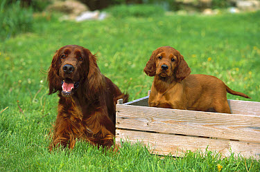 Irish Setter (Canis familiaris) adult and puppy  -  Mark Raycroft