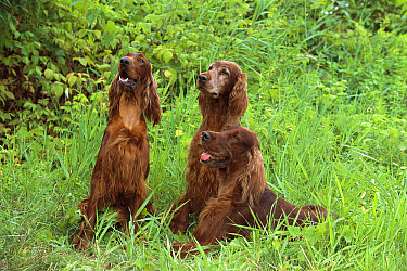 Irish Setter (Canis familiaris) trio  -  Mark Raycroft