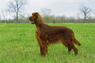 Irish Setter (Canis familiaris) portrait  -  Mark Raycroft