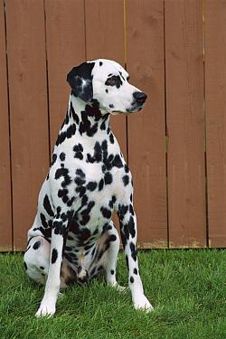 Dalmatian (Canis familiaris) portrait  -  Mark Raycroft