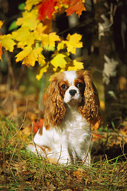 Cavalier King Charles Spaniel (Canis familiaris) portrait in fall  -  Mark Raycroft