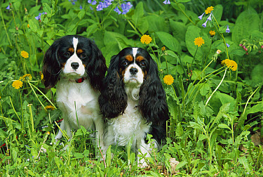 Cavalier King Charles Spaniel (Canis familiaris) pair in grass  -  Mark Raycroft