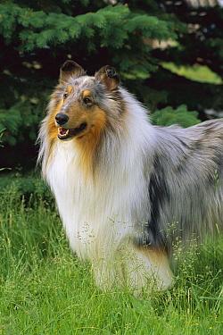 Blue Merle Collie (Canis familiaris) portrait  -  Mark Raycroft